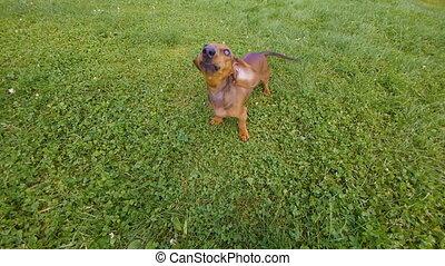 HD - Dog barks at the camera