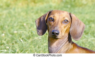 HD - Dog on the lawn_close-up