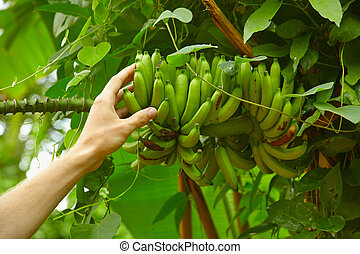Inedible small wild bananas in the rainforest - Inedible...