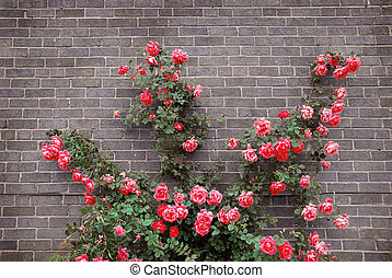 Roses on brick wall - Climbing red roses on a brick wall of...