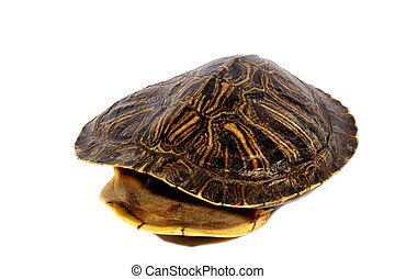 Turtle Shell - Isolated brown red ear slider hollowed out...