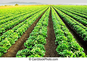 Lettuce fields in Salinas, CA - Rows of lettuce in Salinas,...