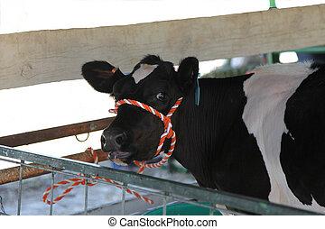 Holstein Calf at County Fair - Pretty black and white...