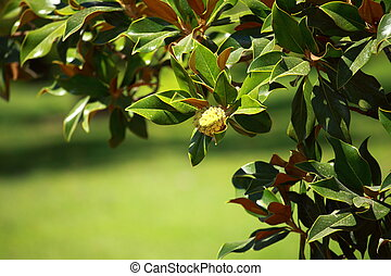 Magnolia tree over blured background