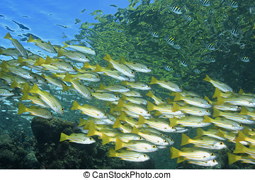 School of Snapper - A school of Longspot Snapper, Lutjanus...
