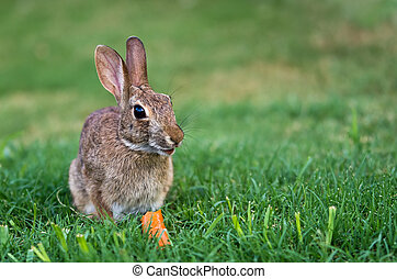 Cottontail rabbit bunny eating carrot