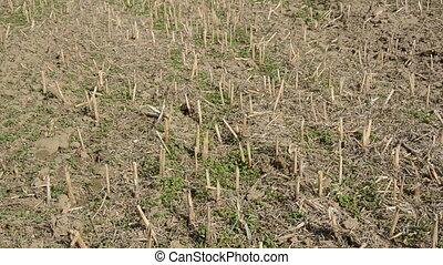 farm field after rapes harvesting - farm field panorama...