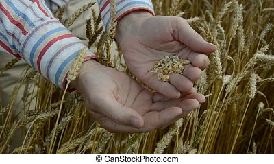 farmer looking crop grain on field - farmer looking crop...