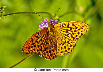 Silver-washed fritillary,Argynnis paphia