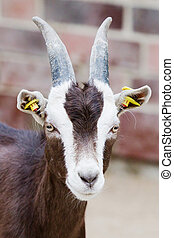 Billy goat closeup - Closeup of a billy goat with shallow...