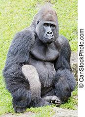 Silverback gorilla - A sitting silverback gorilla looking...