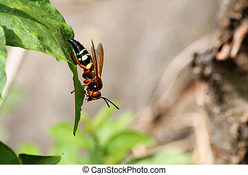 Cicada killer wasp - A Cicada killer wasp on a leaf
