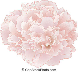 Vector peony flower. - Vector peony flower isolated on white...