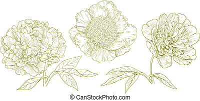 Vector peonies - Three different vector peonies in vintage...
