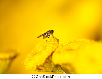 Thirsty Fly - Fly surrounded by bright yellow flowers drinks...