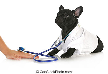 veterinary care - french bulldog doctor taking care of human...