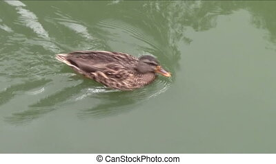 Duck swimming in pond