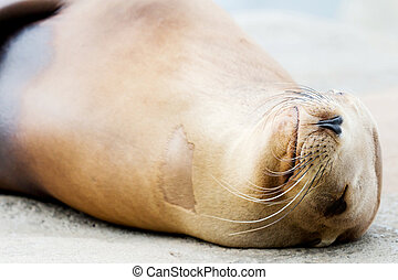 Sea lion closeup - Closeup of a bright sea lion on a rock...