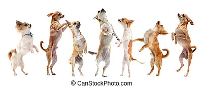 chihuahuas upright - group of purebred chihuahua standing on...