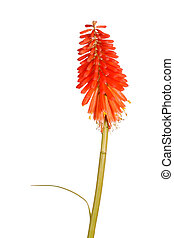 Stem with bright orange flowers of Kniphofia - Single stem...