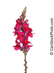 Single stem of red shapdragon flowers isolated on white -...