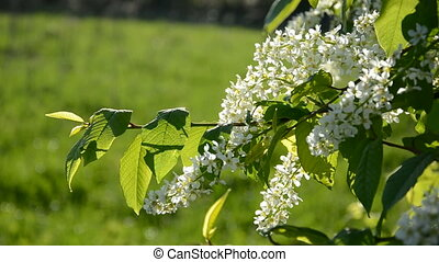 spring bird cherry branch with white blossoms
