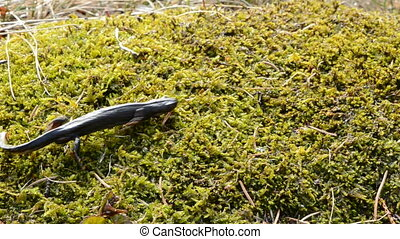 Great Crested Newt on moss - Great Crested Newt on green...
