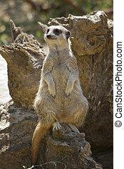 Suricate - Meerkat or suricate