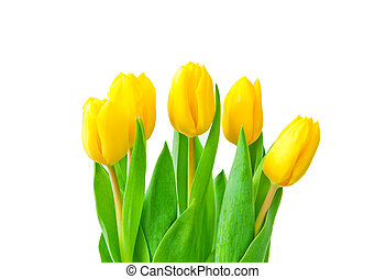 Yellow tulips isolated
