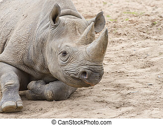 White rhino on soil