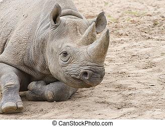 White rhino on soil