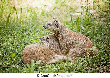 Mongoose in love