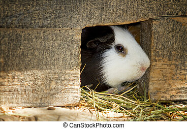 Peruvian guinea pig in the house