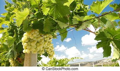 Muscat White Vineyard, Crimea, Ukraine