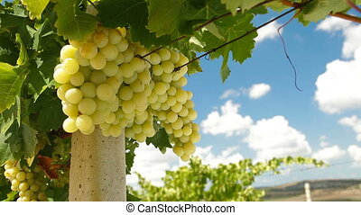 Bunches of Muscat White Grapes - Ripe Bunches of Muscat...