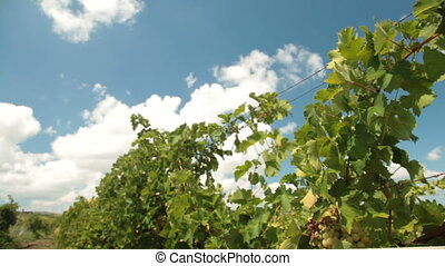 White Wine Glasses in Vineyard - Two glasses of white wine...