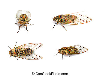 set of cicada insect isolated on white background