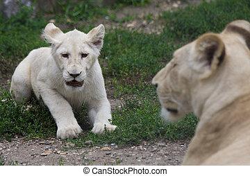 White lion cub - White Transvaal lion (Panthera leo krugeri)
