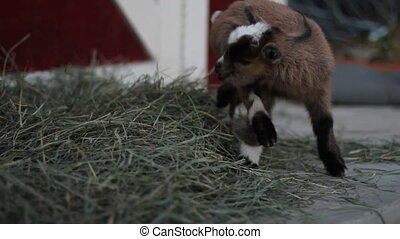 baby pigmy goat - Close up of a cute fuzzy 1 day old baby...