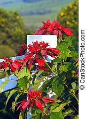 Big Island Poinsettias - Beautiful poinsettias bloom along...