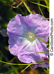 Big Island Dew Drops - Beautiful Morning Glory blooms with...
