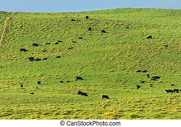 Big Island Cattle Farm - Kohala Mountain serves as feeding...