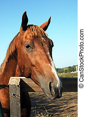 Biten and miserable - Chestnut colored quarter horse puts...