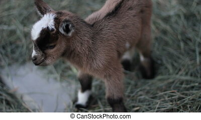 baby pigmy goat cu - Adorable 1 day old baby pygmy goat...