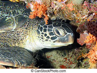 Green Turtle Chelonia Mydas Resting at the Coral Wall,...