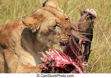 Close-up of a Lion (Panthera Leo) Eating a Wildebeest,...