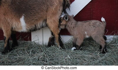 baby pigmy goat hop - Cute, fuzzy 1 day old pygmy goat hops