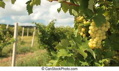 Muscat White Grapes, Crimea, Ukraine