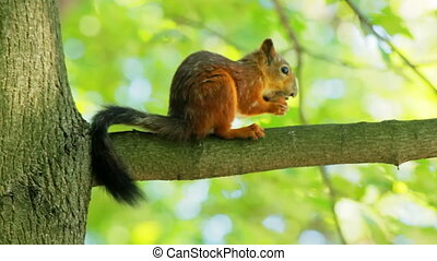 Squirrel on a branch cracks a nut shell