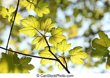 Spring maple leaves against the blue sky